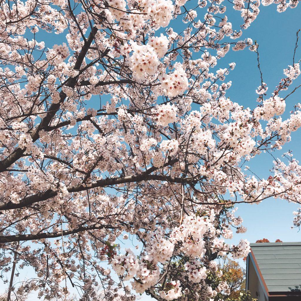 知北公園の桜